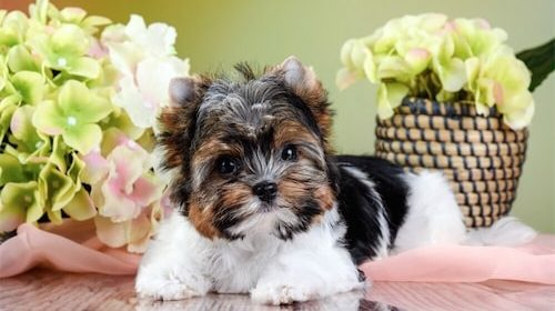 Yorkie Puppies Breed